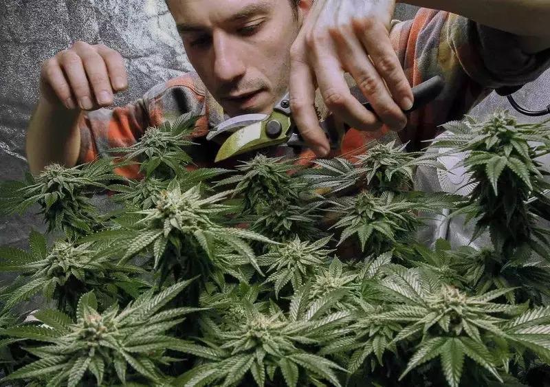 在纽约州的大麻合法化后,有不少大学推出相关课程。 (美联社)