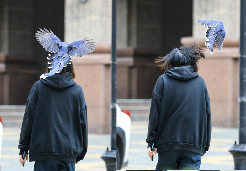 位於陽明山上的文化大學,近來出現台灣藍鵲築巢下蛋,為了保護雛鳥,路過周遭的師生,常不經意地被「巴頭」襲擊。(王翔郁提供/中央社)