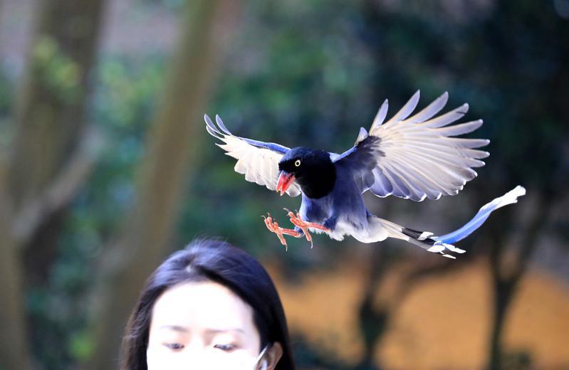 位於陽明山上的文化大學,近來出現台灣藍鵲築巢下蛋,為了保護雛鳥,還會襲擊路過的師...